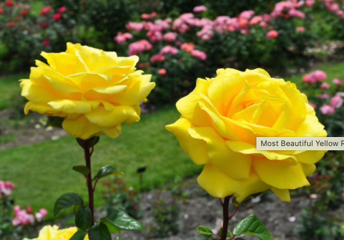 Brora Church Clyne Rose Garden